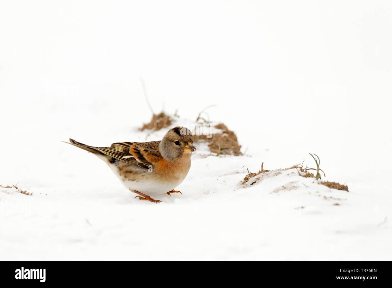 brambling (Fringilla montifringilla), in snow, Netherlands, Limburg - Stock Image