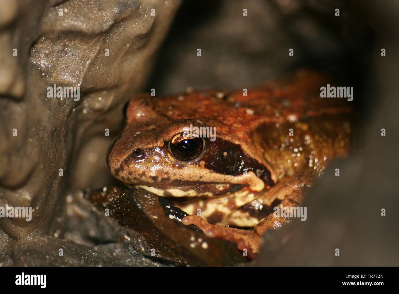common frog, grass frog (Rana temporaria), portrait, Netherlands - Stock Image