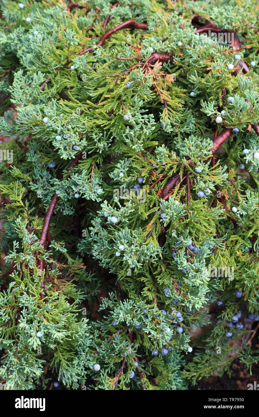 Thuja with cones at the dacha Stock Photo