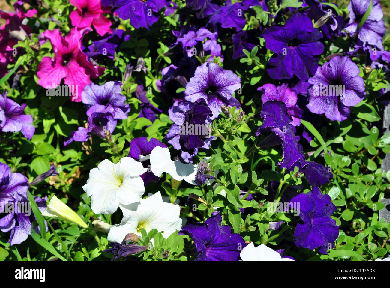 5522f8d0b4 Petunia grandiflora pink, white and dark purple flowers, top view ...
