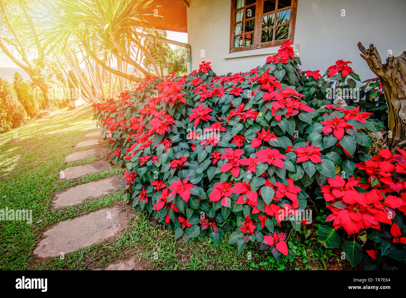 Red Poinsettia Flowers Blooming In The Garden Front Yard Or Christmas Star Flowers Plant Euphorbia Pulcherrima Stock Photo Alamy