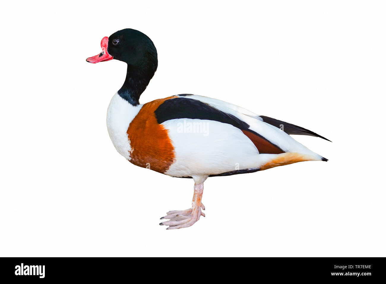 Colourful mallard duck isolated on white background - Stock Image