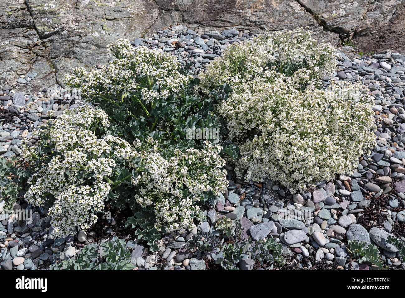 Crambe Maritima, commonly known as Sea Kale, Seakale, Sea Cole, Sea colewort. Photograph taken on the Island of Anglesey in North Wales. - Stock Image