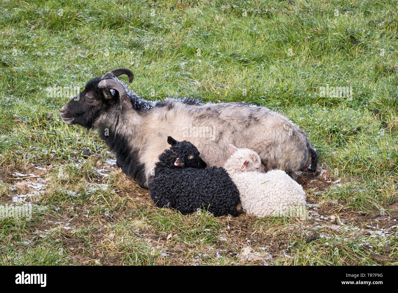Northern Iceland, in May. A black and a white lamb sheltering from a spring hailstorm behind their mother - Stock Image