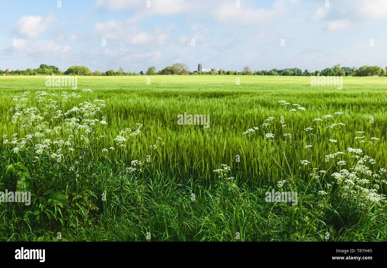 Beautiful English countryside with wheat field and ancient minster on horizon on bright morning under blue sky in Beverley, Yorkshire, UK. - Stock Image