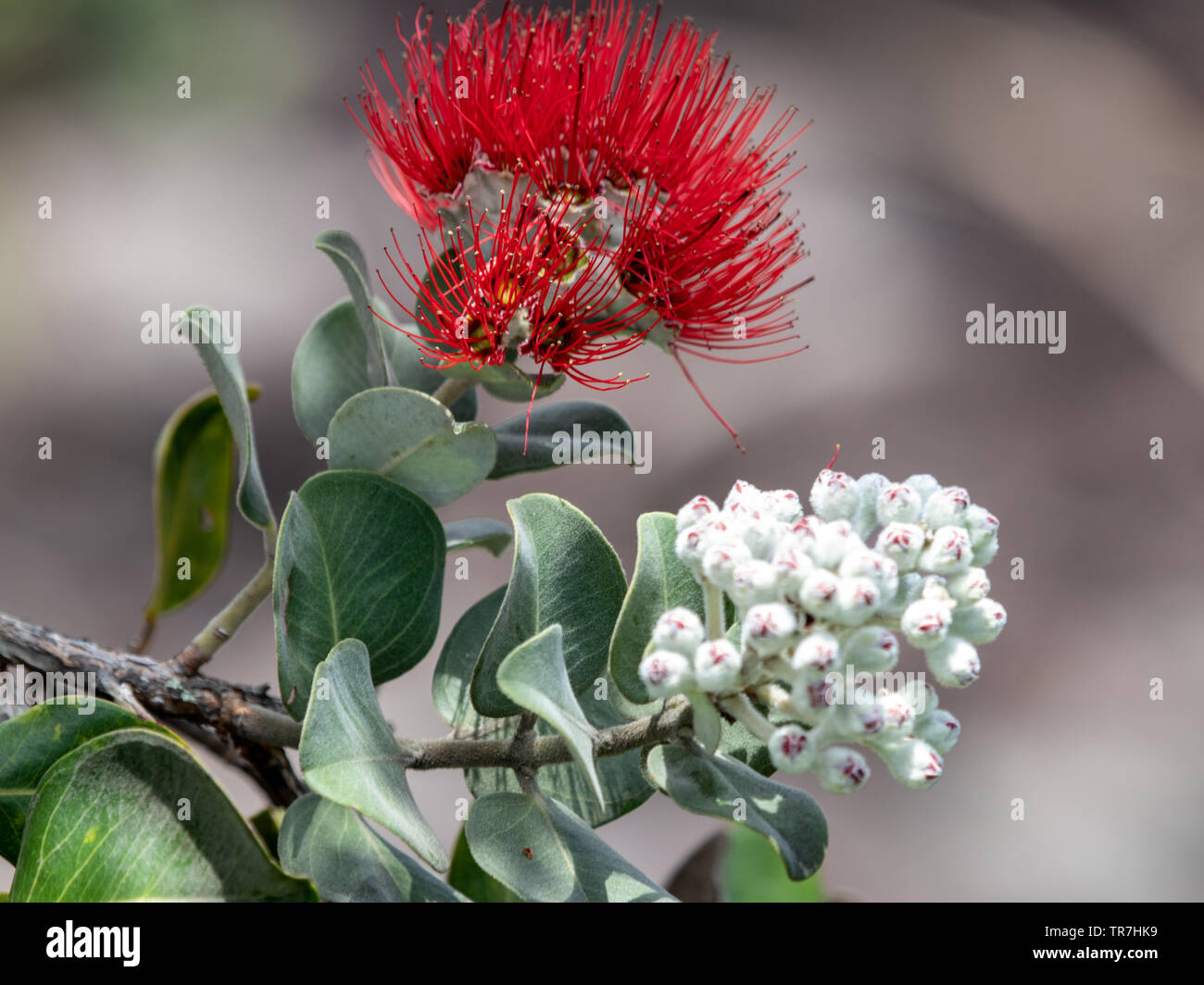 The ohia tree and its lehua blossoms have deep roots in Hawaiian culture - Stock Image