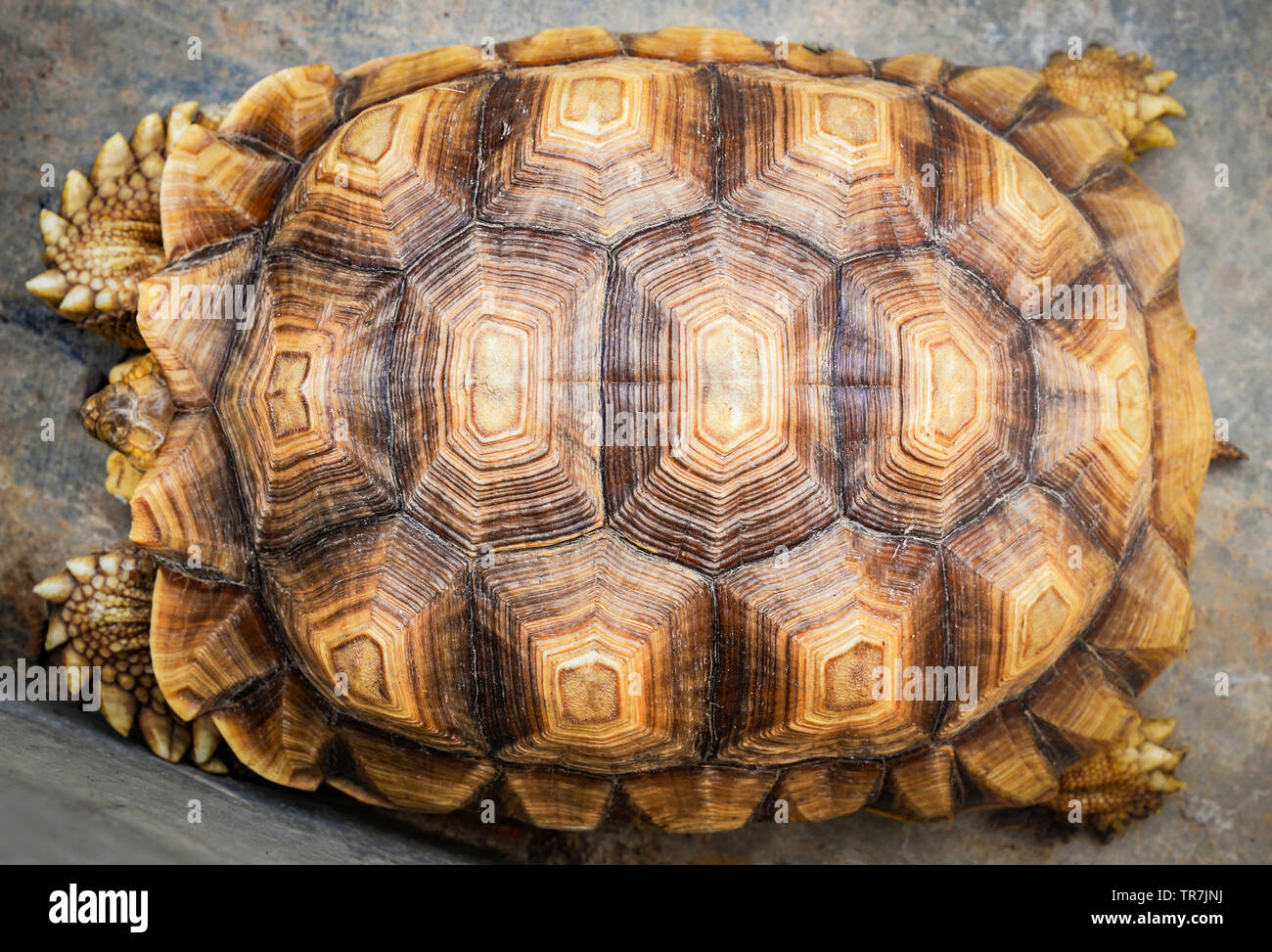 Turtle Shell Top View High Resolution Stock Photography And Images