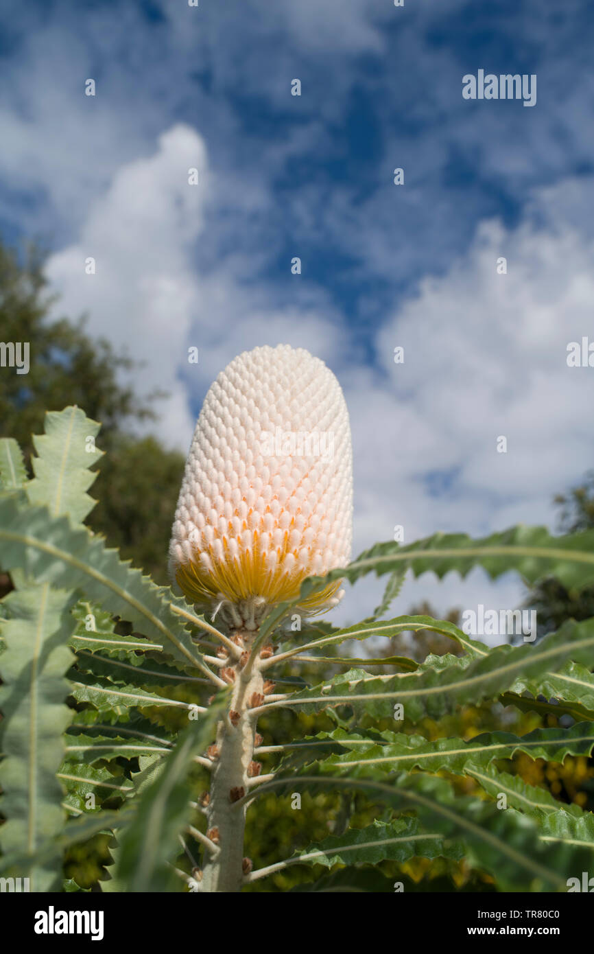 Flower spike of Banksia prionotes in early stages of development, before anthesis of individual flowers (before the individual flowers have opened) - Stock Image