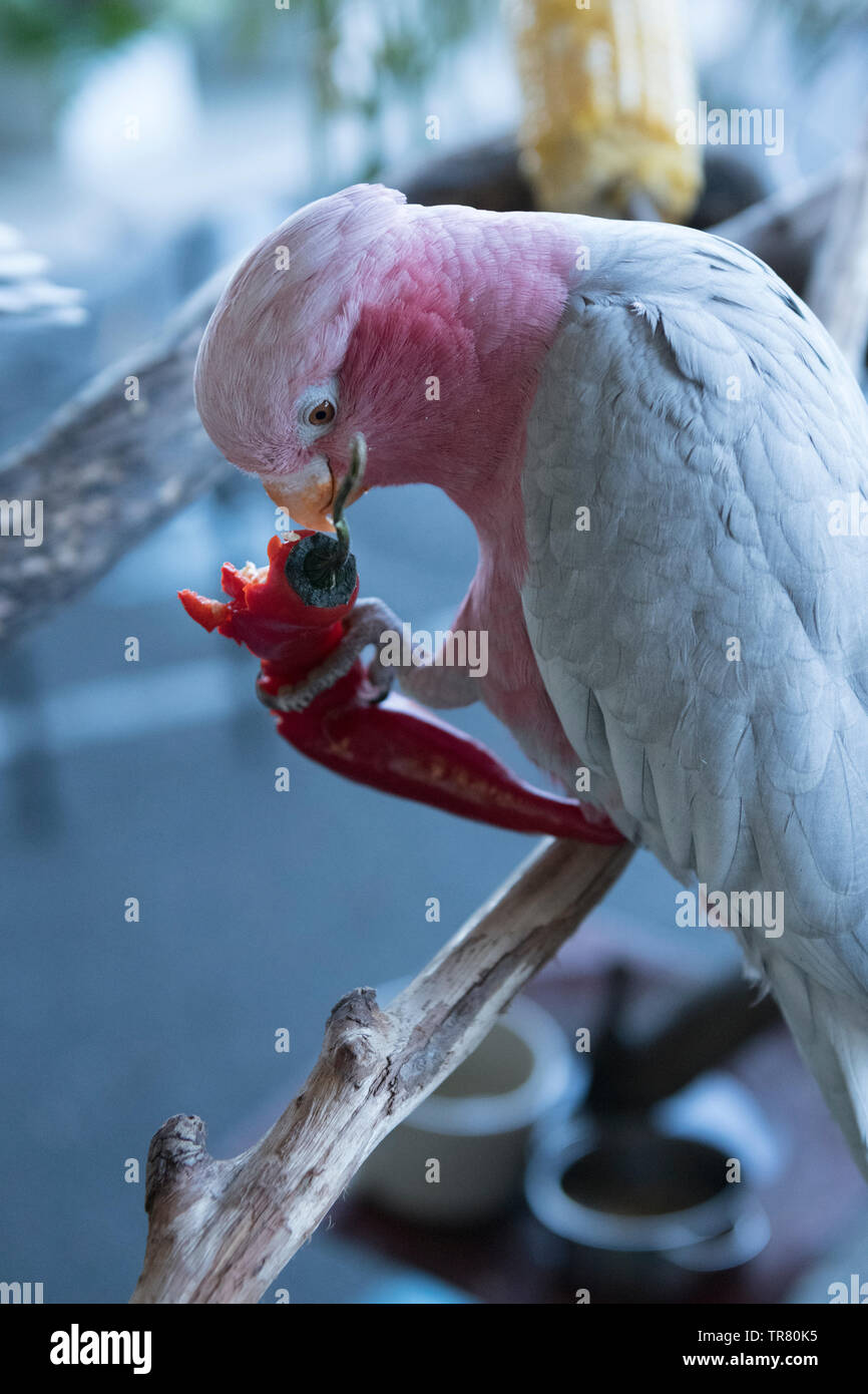 A rescued Pink and Grey Galah (Eolophus roseicapilla), an