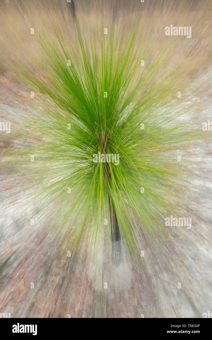 Longleaf Pine saplings (Pinus palustris), Weymouth Woods Sandhills Nature Preserve, NC, USA, by Bill Lea/Dembinsky Photo Assoc - Stock Image