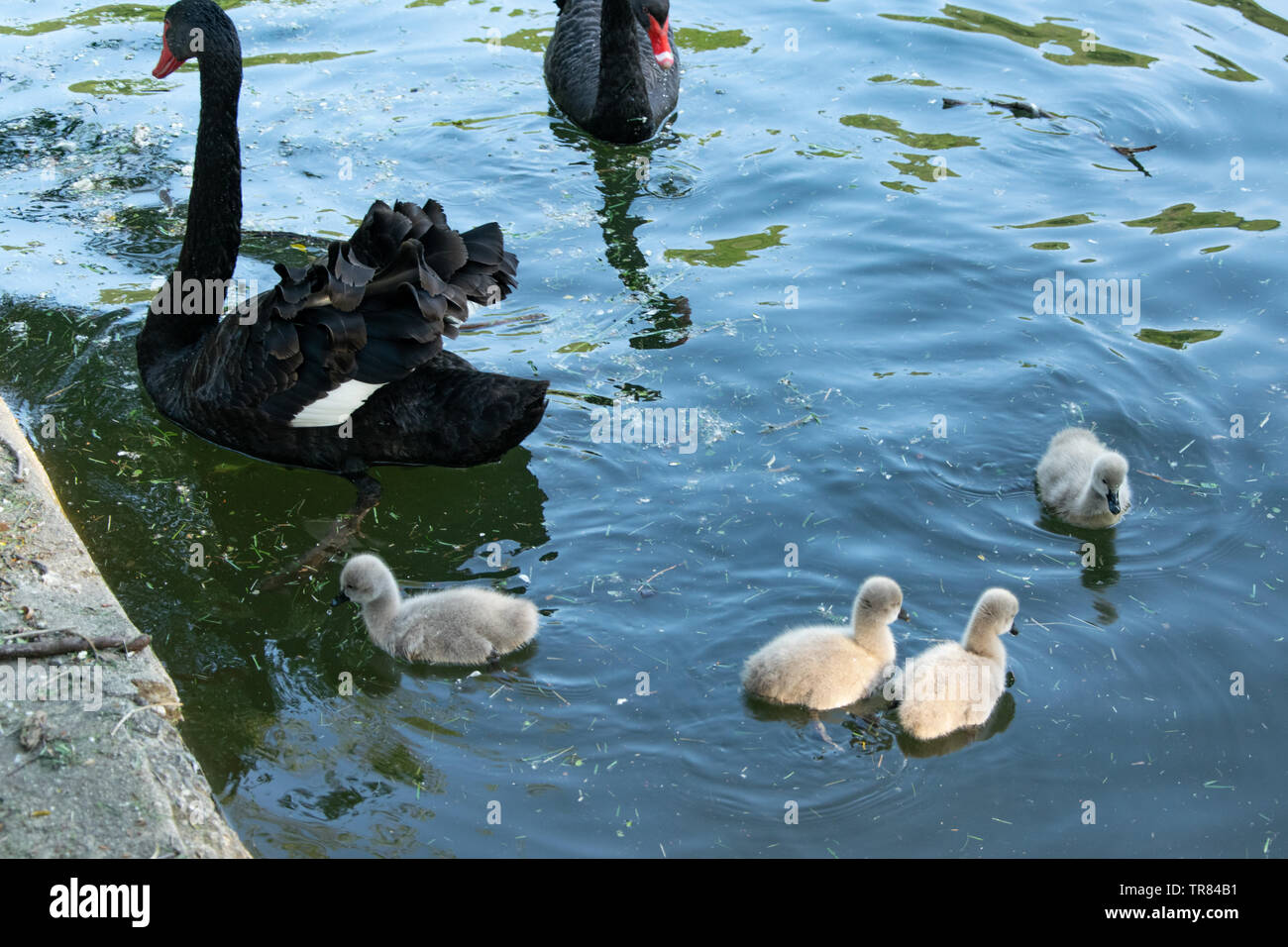 Black swans with their chicks. Animal wildlife Stock Photo