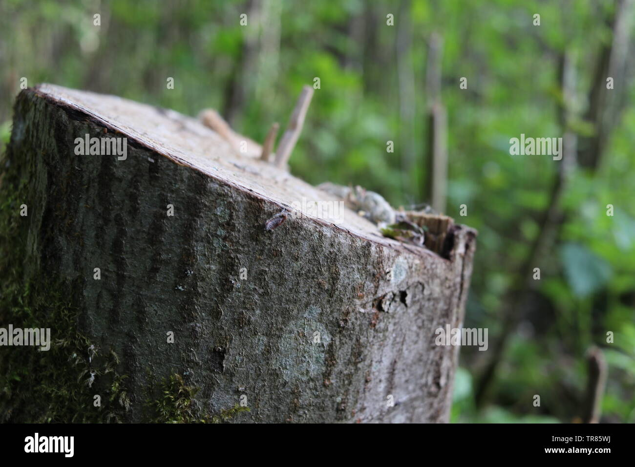 A cut down tree trunk inclines towards the light. - Stock Image