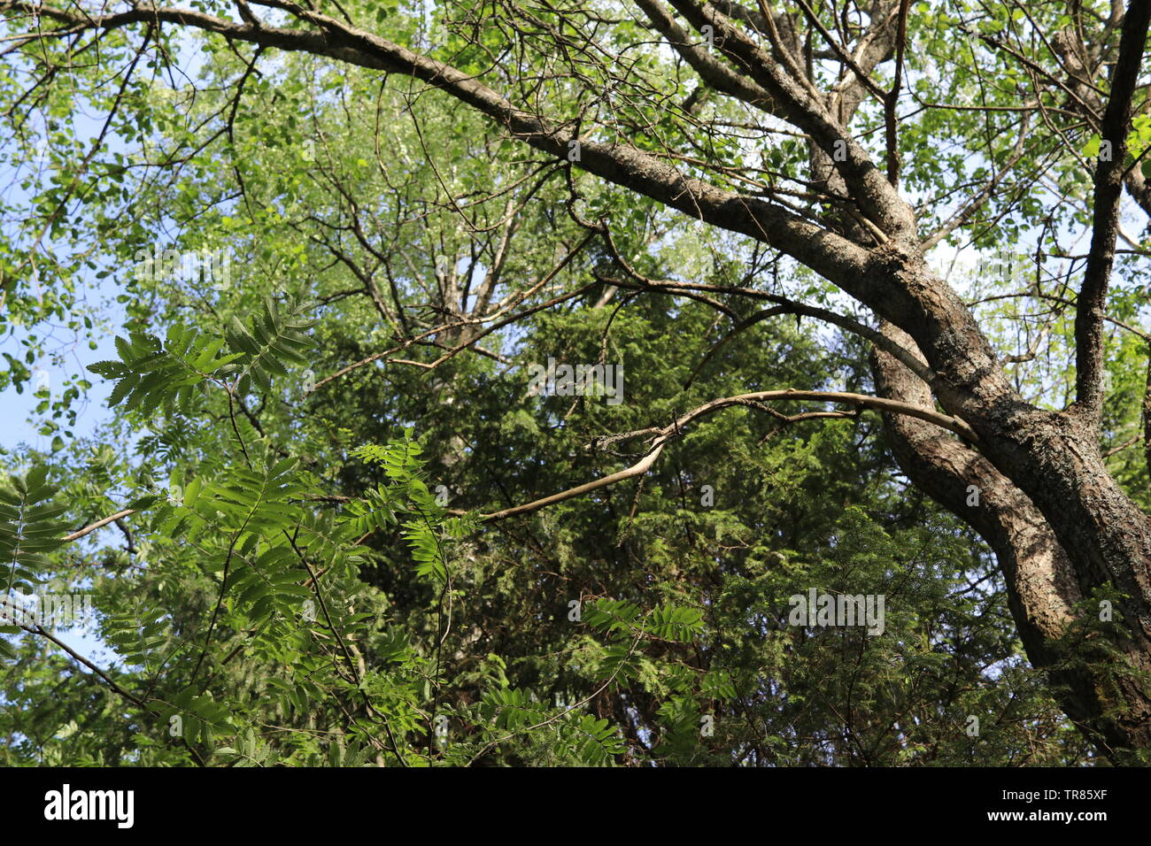 A wiggling tree trunk midst trees of several shades of green. Stock Photo