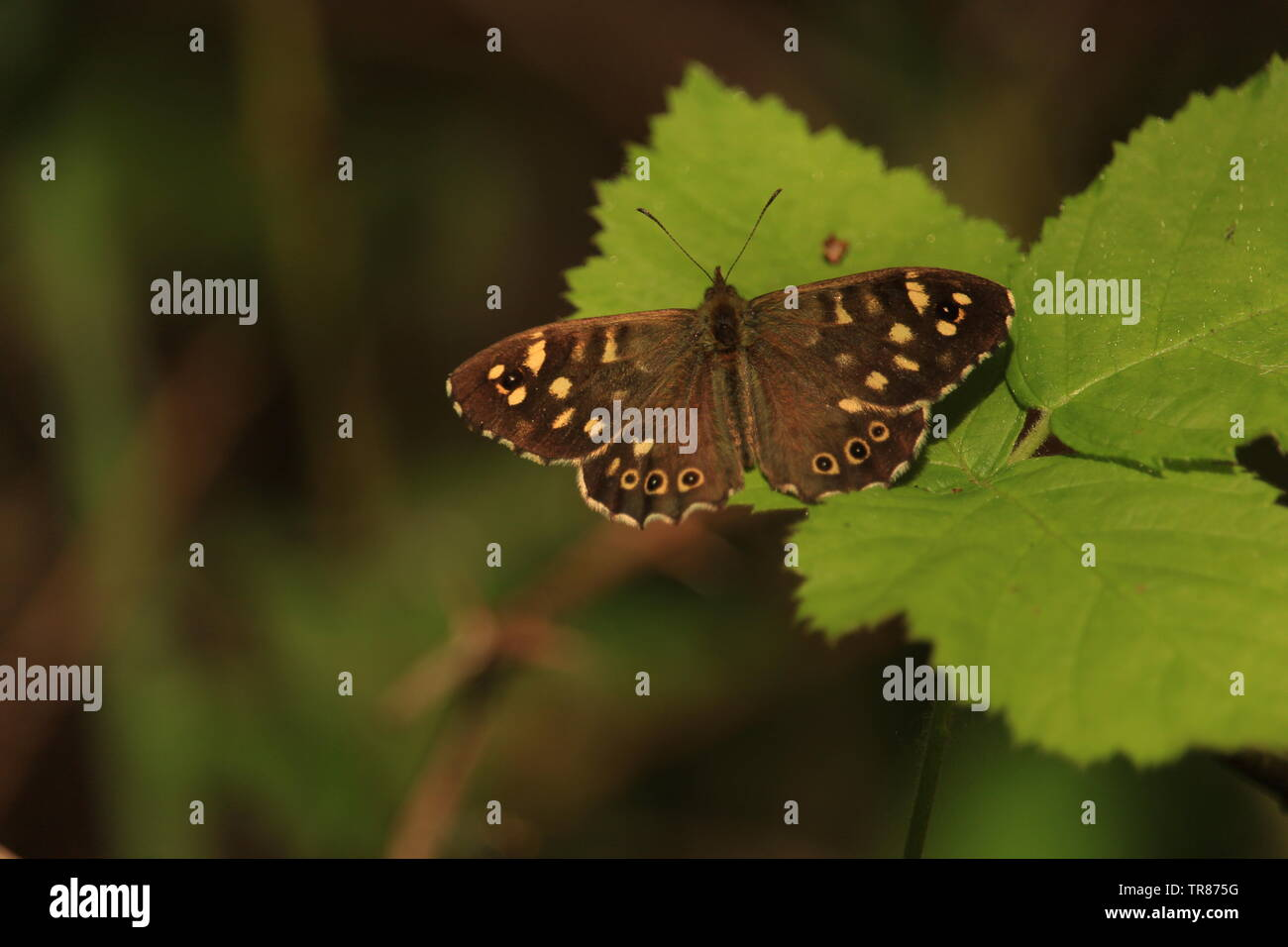 The Speckled Wood Butterfly (Pararge aegeria) has experienced a rise in distribution in contrast with the comparative decline in oth - Stock Image