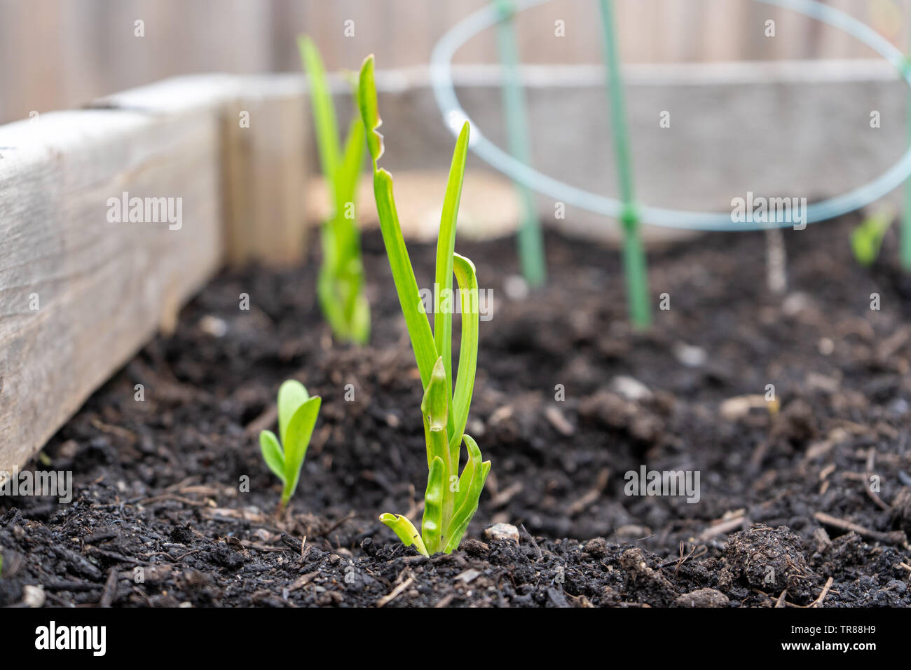 Garlic stems growing from a planted garlic clove, in a home garden planter. - Stock Image