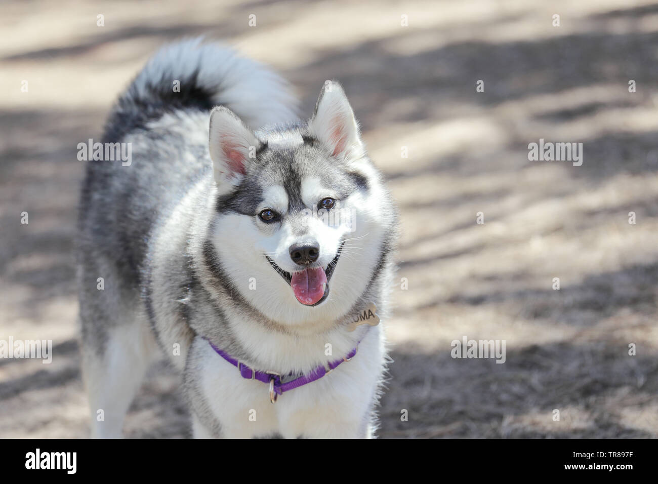 smiling Alaskan Klee Kai at a dog park - Stock Image