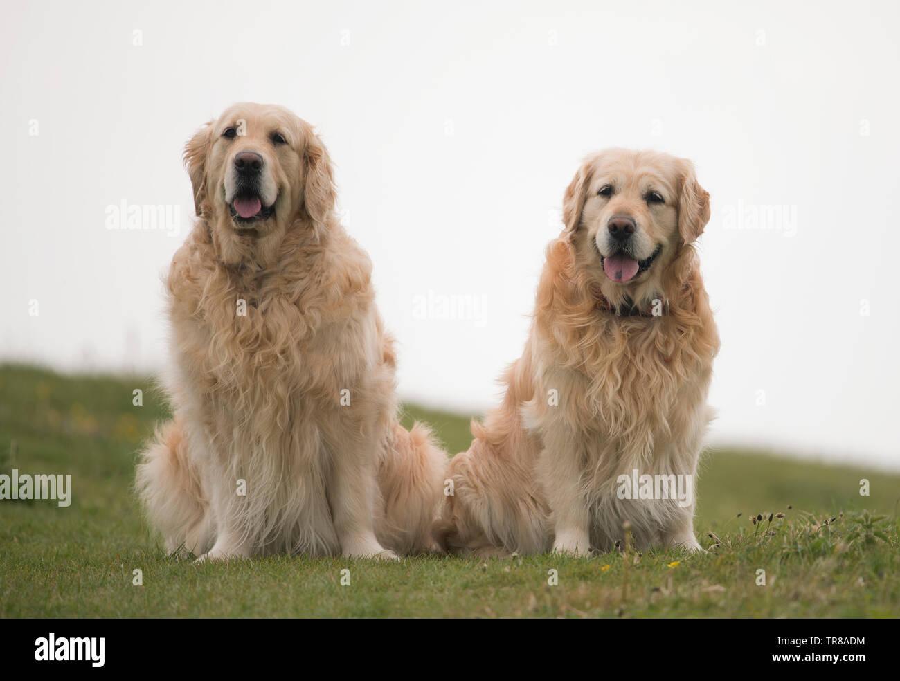Pair of Golden Retrievers-Canis lupus familiaris. - Stock Image