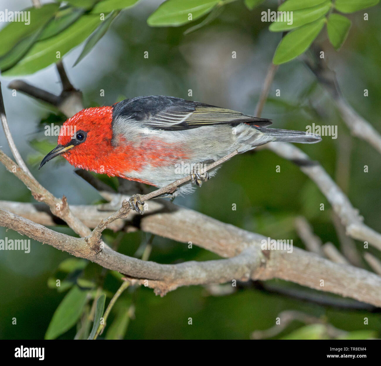 Beautiful red and black male scarlet honeyeater on branch of shrub against background of green foliage in Australia - Stock Image