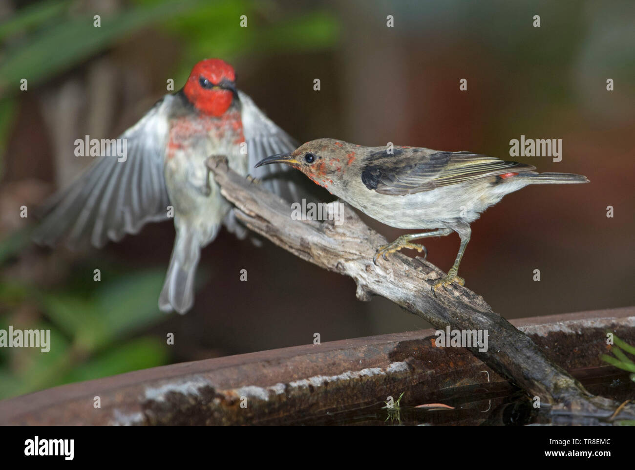 Beautiful adult and juvenile male Australian Scarlet Honeyeaters, Myzomela sanguinolenta, one in flight at garden bird bath - Stock Image