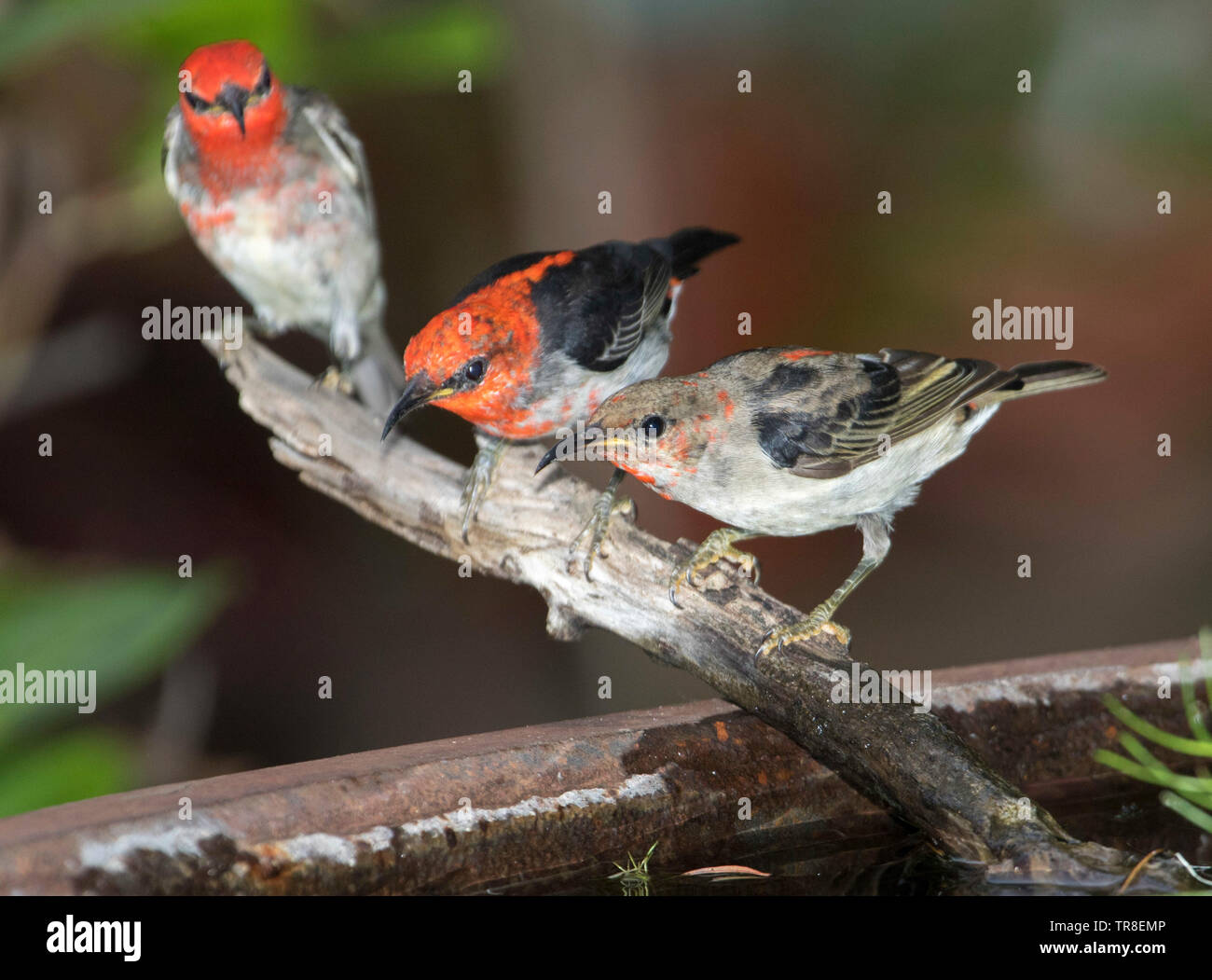 Three stunning black and red male Australian Scarlet Honeyeaters, Myzomela sanguinolenta, at garden bird bath - Stock Image