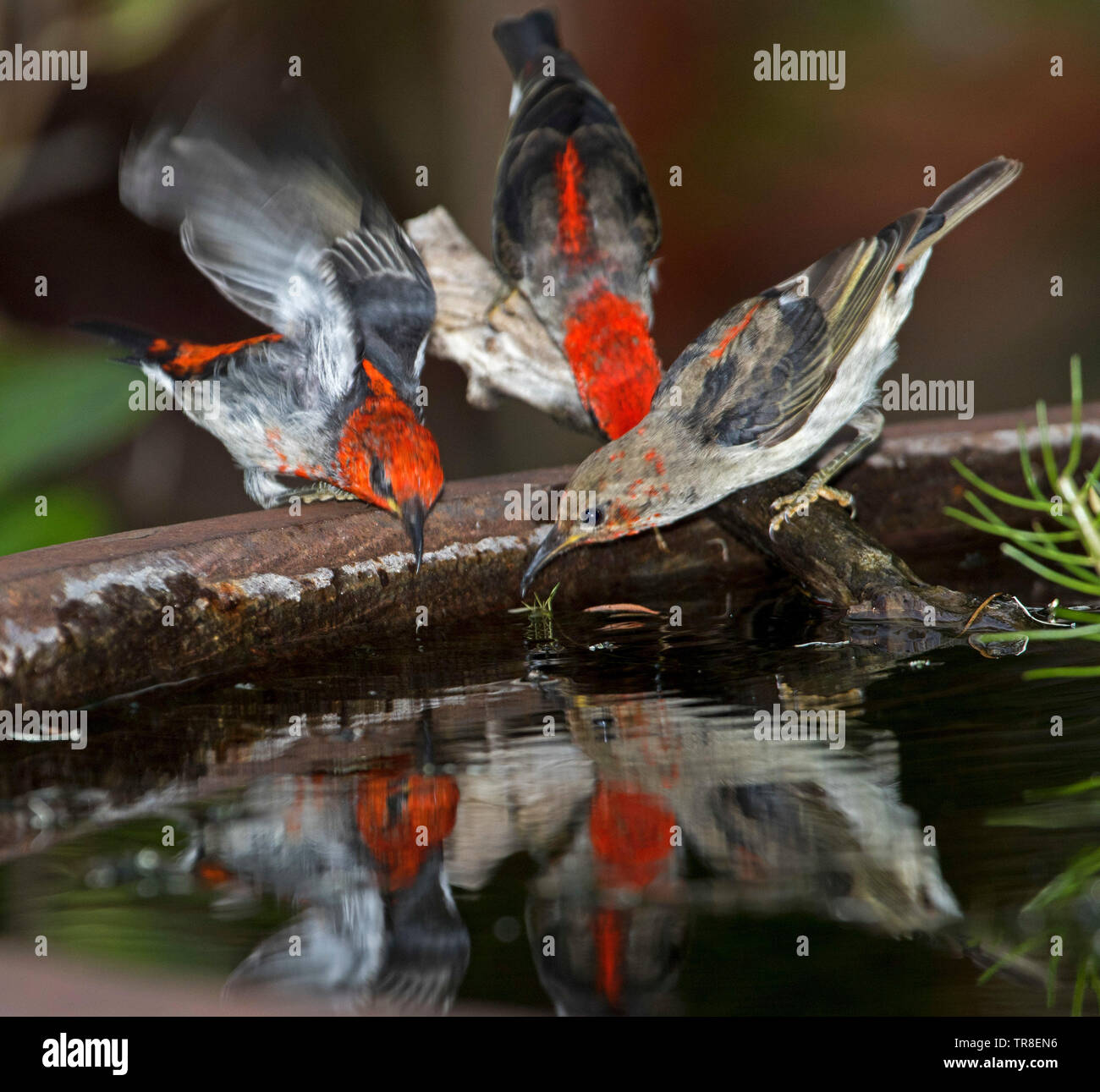 Group of three stunning red and black male Australian Scarlet Honeyeaters, Myzomela sanguinolenta, drinking and reflected in water of garden bird bath - Stock Image