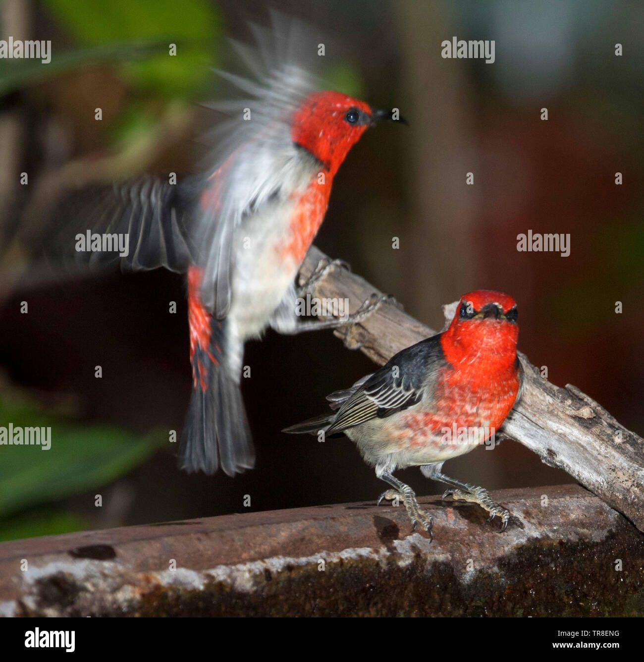 Two stunning red and black male Australian Scarlet Honeyeaters, Myzomela sanguinolenta, one in flight, at garden bird bath - Stock Image