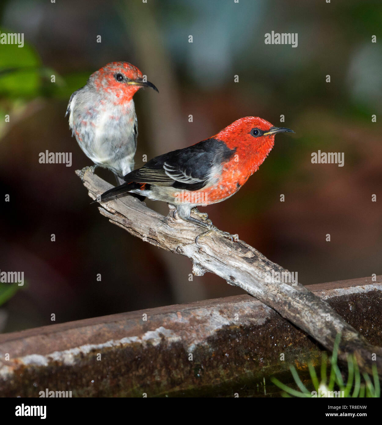 Pair of spectacular red and black male Australian Scarlet Honeyeaters, Myzomela sanguinolenta, at garden bird bath - Stock Image