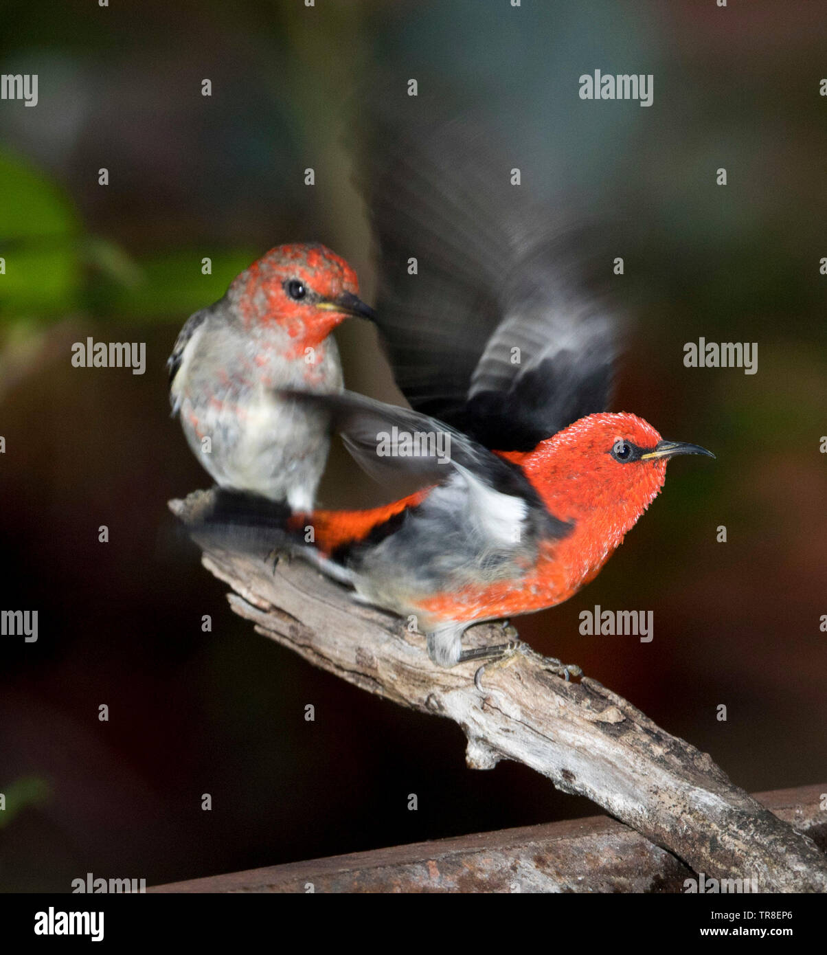 Pair of spectacular red and black male Australian Scarlet Honeyeaters, Myzomela sanguinolenta, one with wings extended, at garden bird bath - Stock Image
