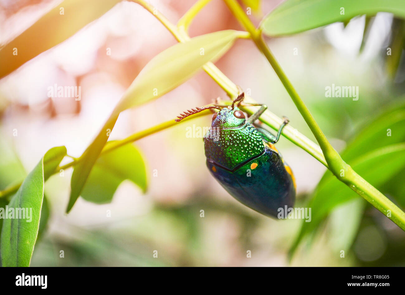 Jewel beetle on the leaf tree branch nature background - Other names Metallic Wood boring / Buprestid green insect - Stock Image