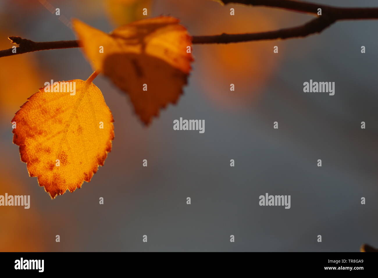 Backlit Orange Autumn Silver Birch Leaves. Muir of Dinnet NNR, Cairngorms, Scotland, UK. - Stock Image