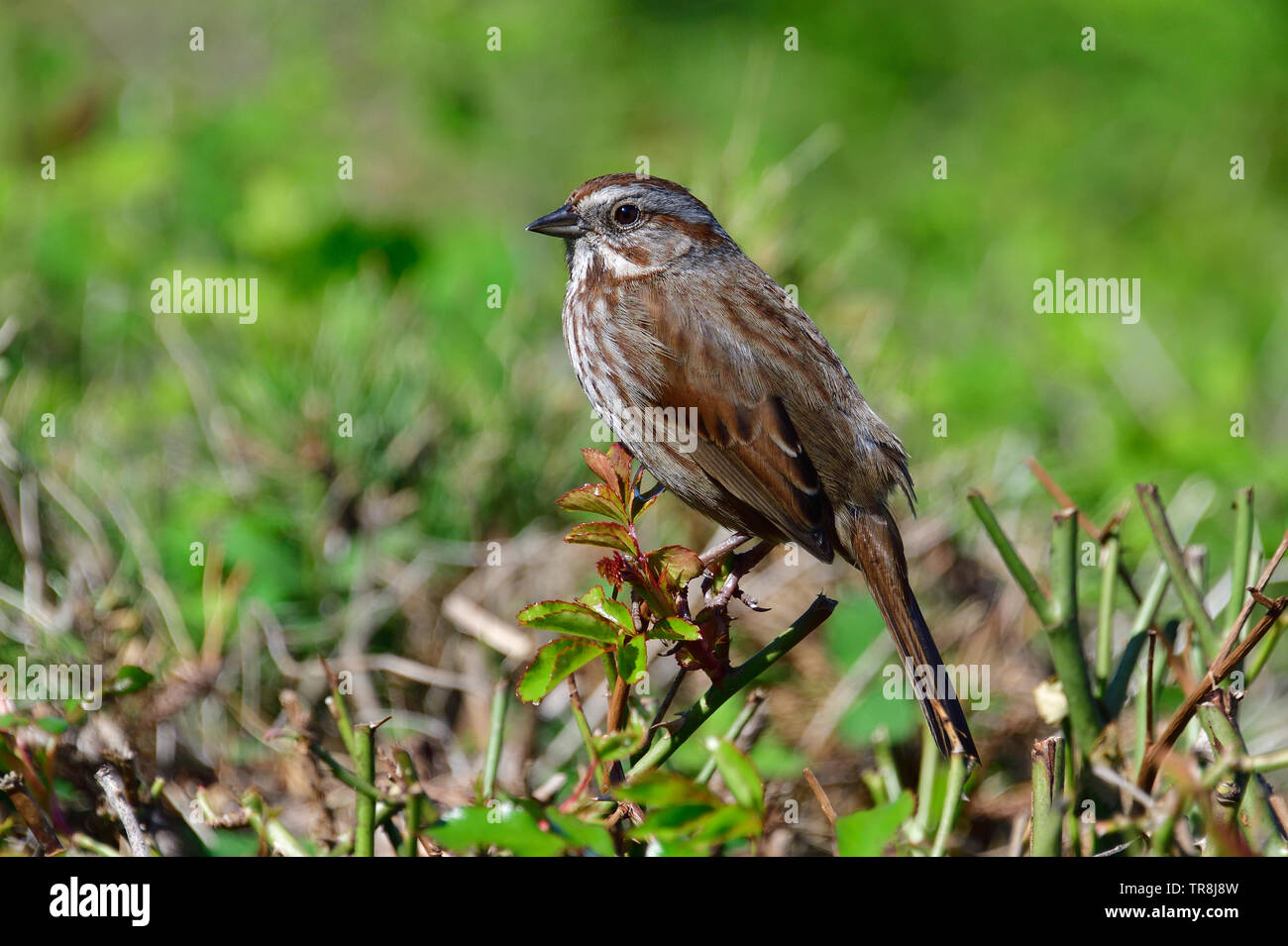 A wild song sparrow bird 'Melospiza melodia', perched on some shrubs on Vancouver Island British Columbia Canada. - Stock Image