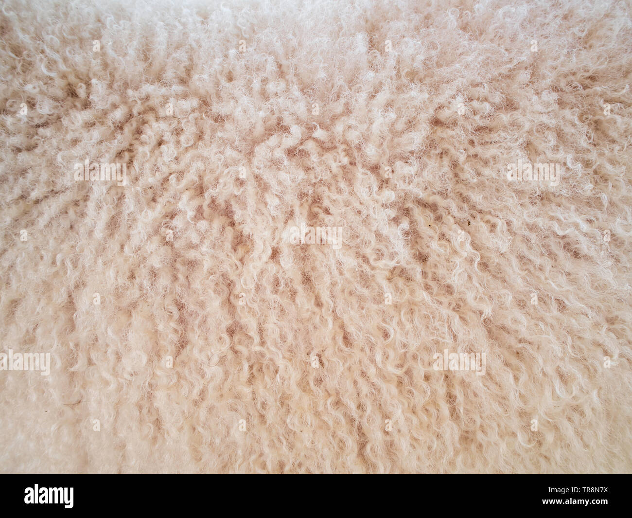 Soft and fluff long sheep wool - Stock Image