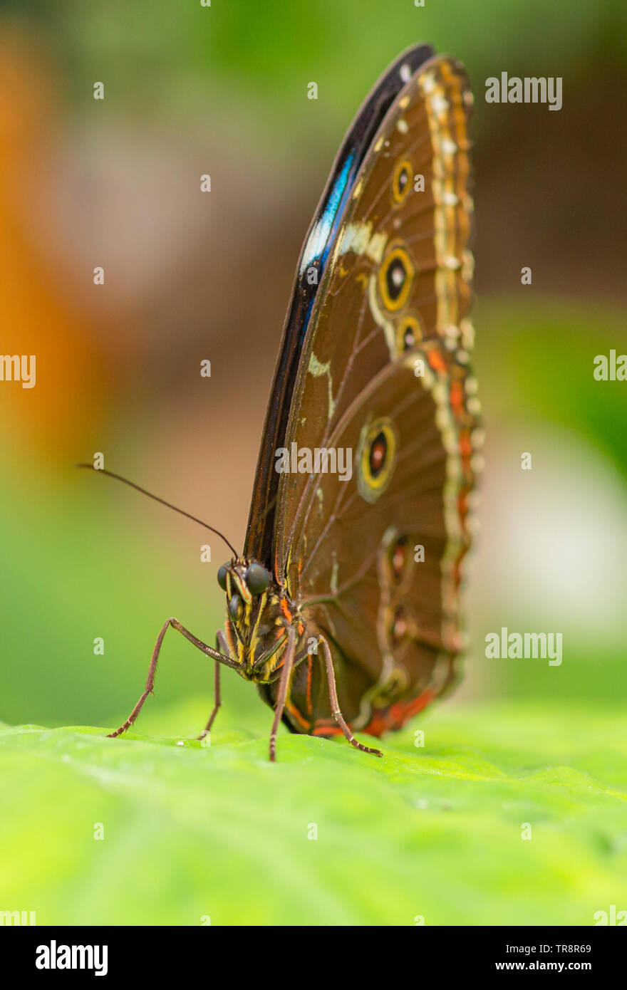 Blue Morpho butterfly with wings folded Stock Photo