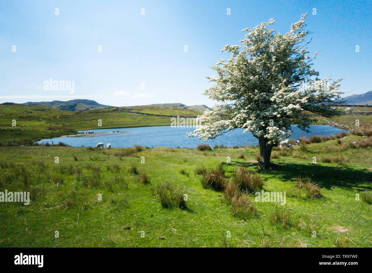 A lone hawthorn tree covered in May blossom stands beside Tewet Tarn in St John's Vale in Cumbria, near Keswick - Stock Image