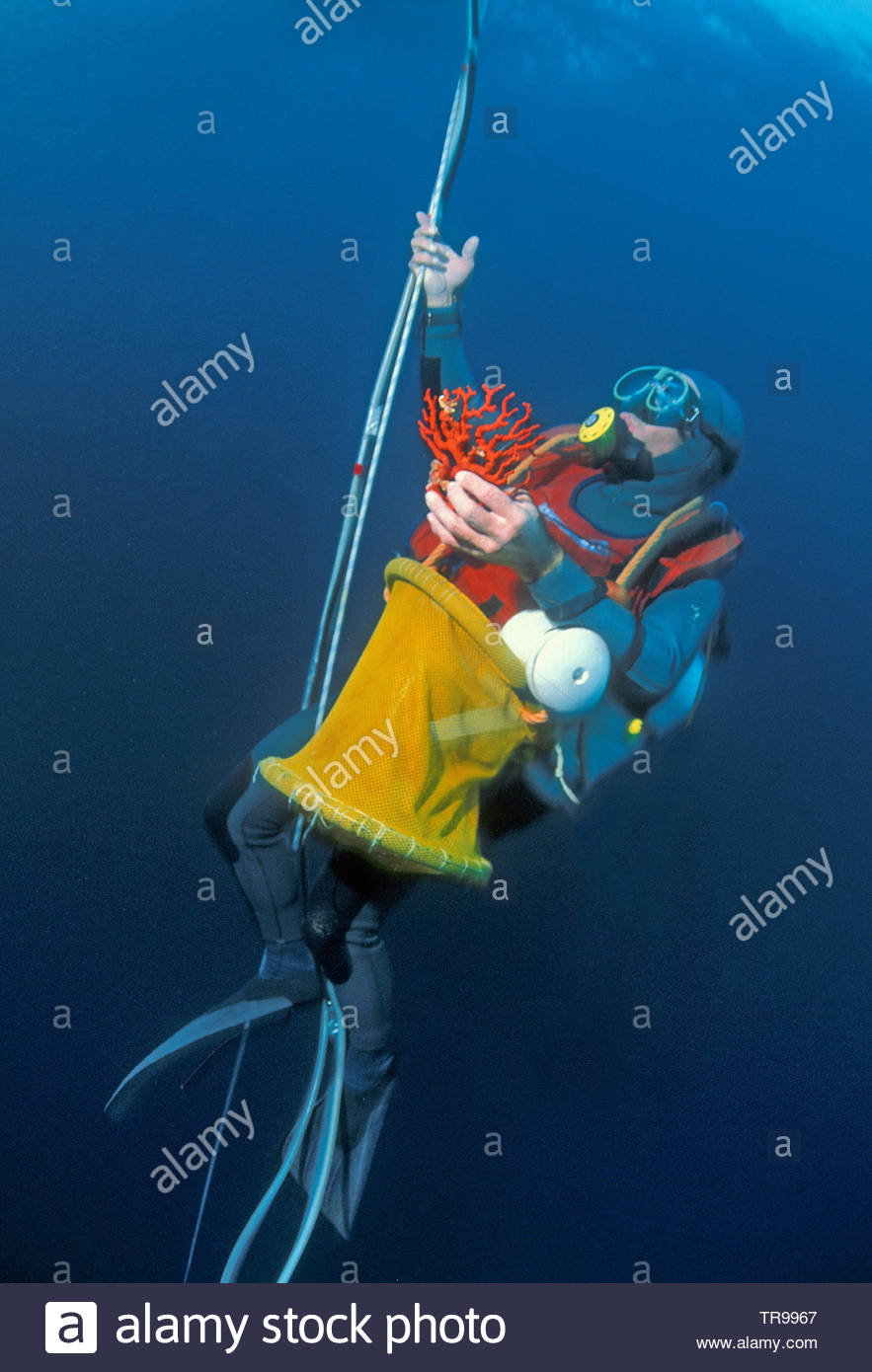 Coral diver with Red Corals (Corallium rubrum), at anchor robe, Marseillie, South France, France - Stock Image