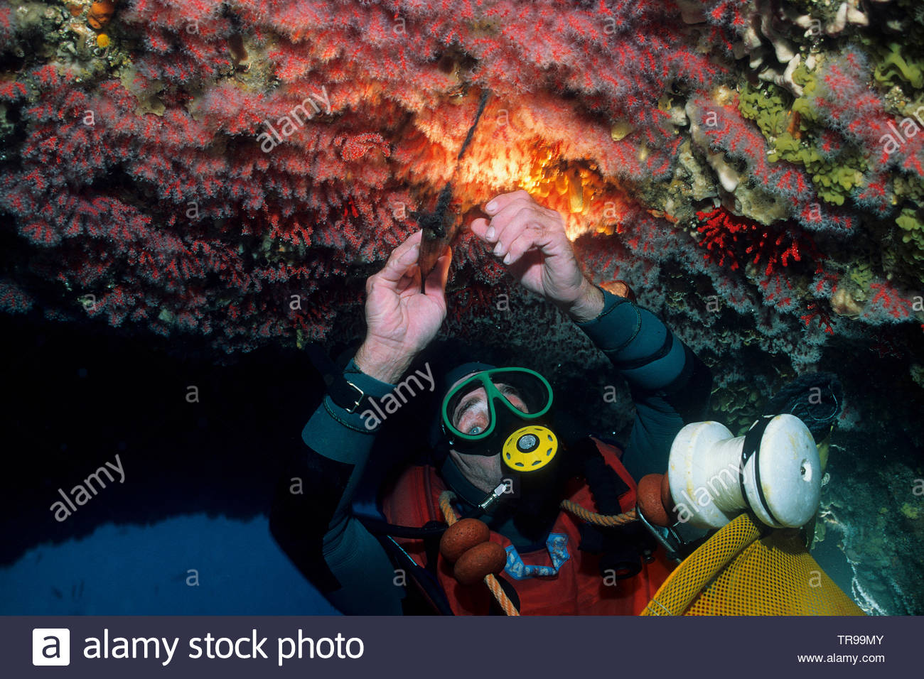 Coral diver breaking Red Corals (Corallium rubrum), at the reef, Marseillie, South France, France - Stock Image