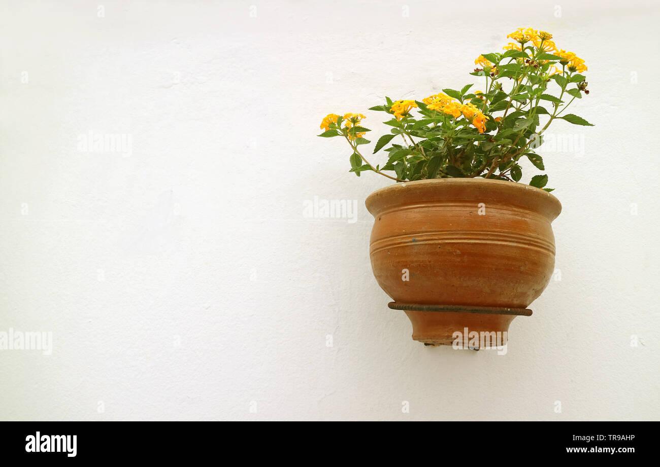 Yellow Lantana Flowers in Terracotta Planter Hanging on White Concrete Wall Stock Photo