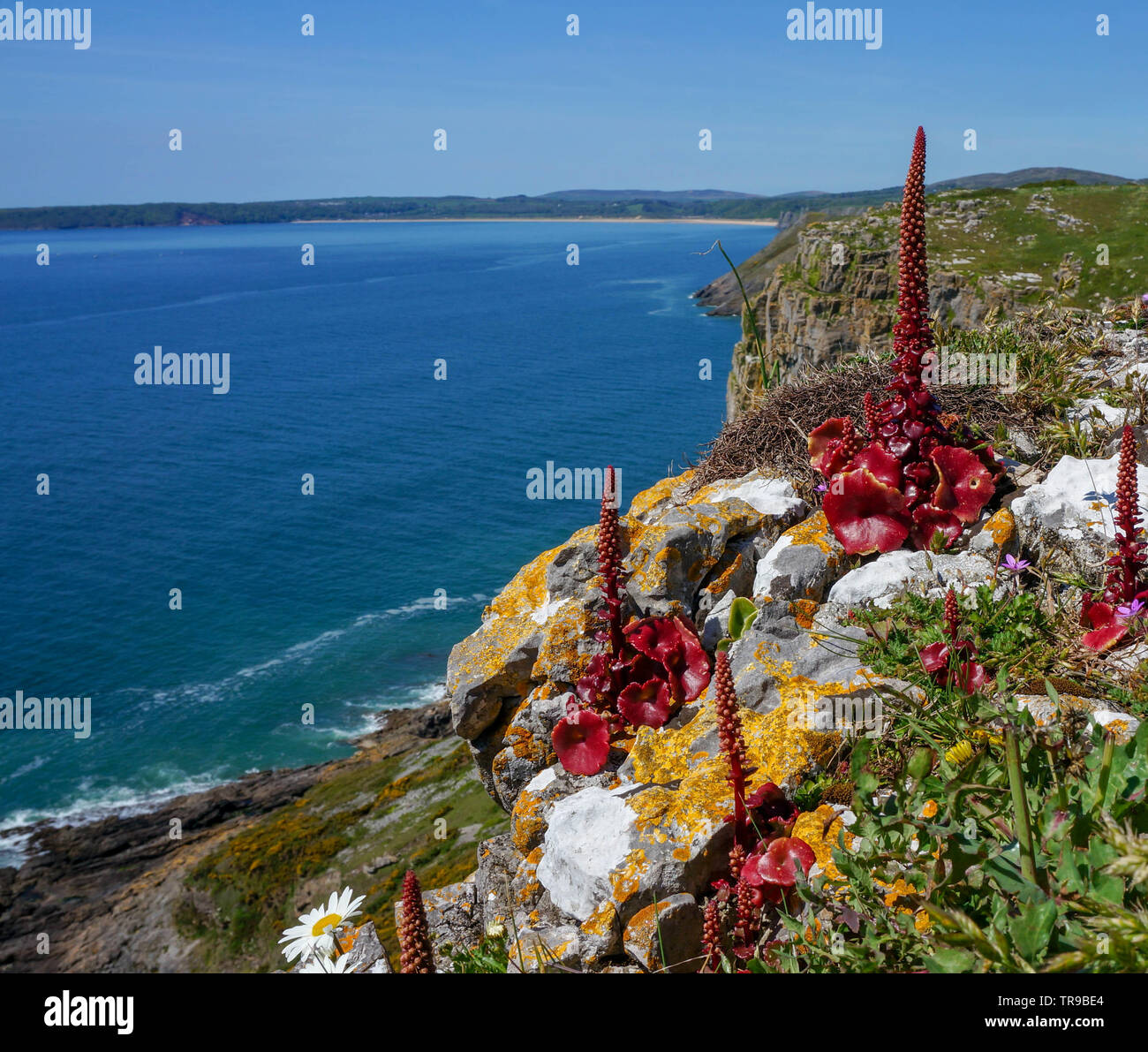 A seascape with an unusual  red plant in the foreground, Wales Stock Photo