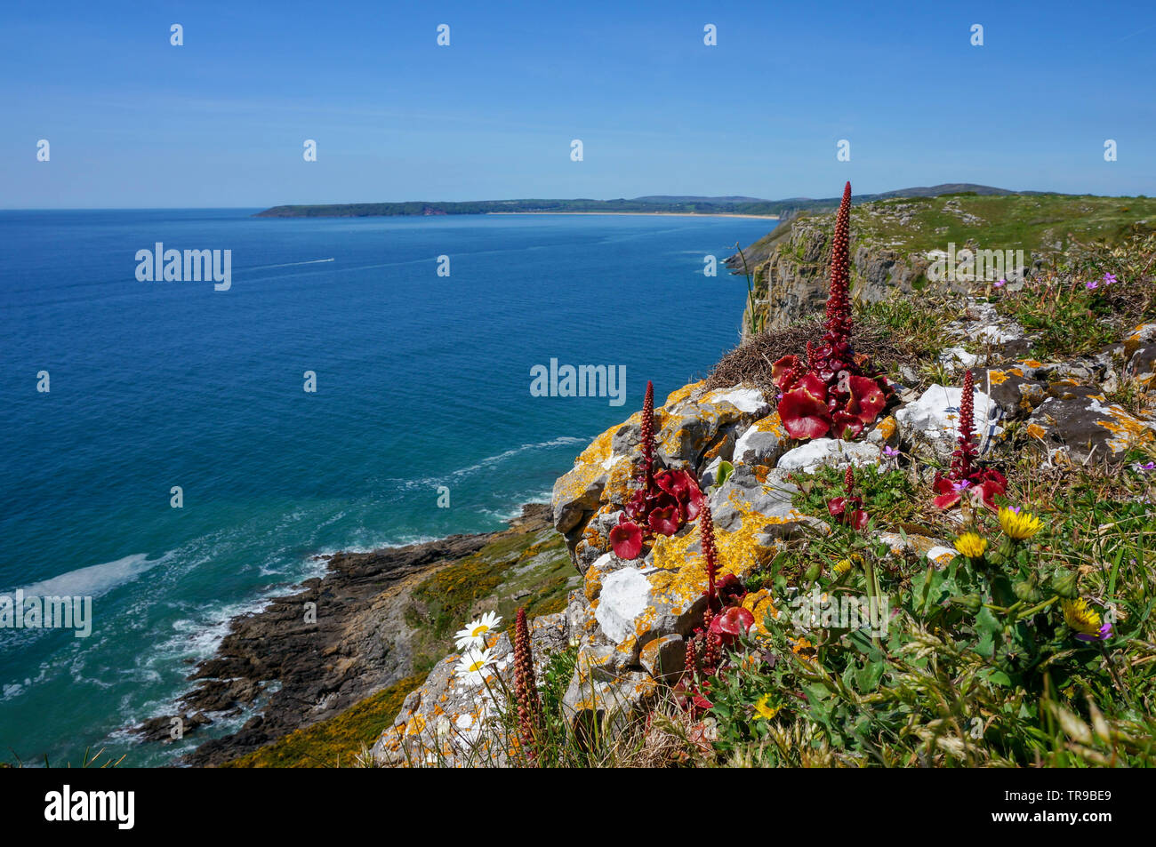 A seascape with an unusual  red plant in the foreground, Wales - Stock Image