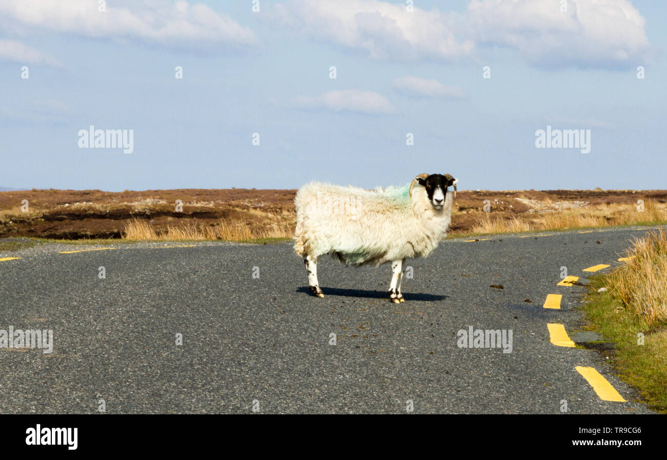 A lone sheep stands in the middle of the road in Donegal, Ireland - Stock Image