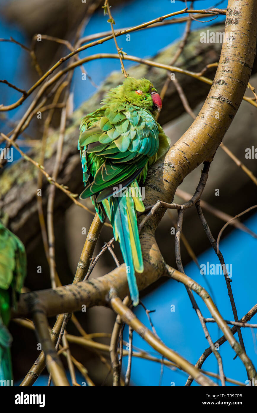 Wild rose-ringed or ring-necked parakeet sunbathing in Vondelpark, Amsterdam, in the warm early spring sun. Beautiful, colorful blue and green feather Stock Photo