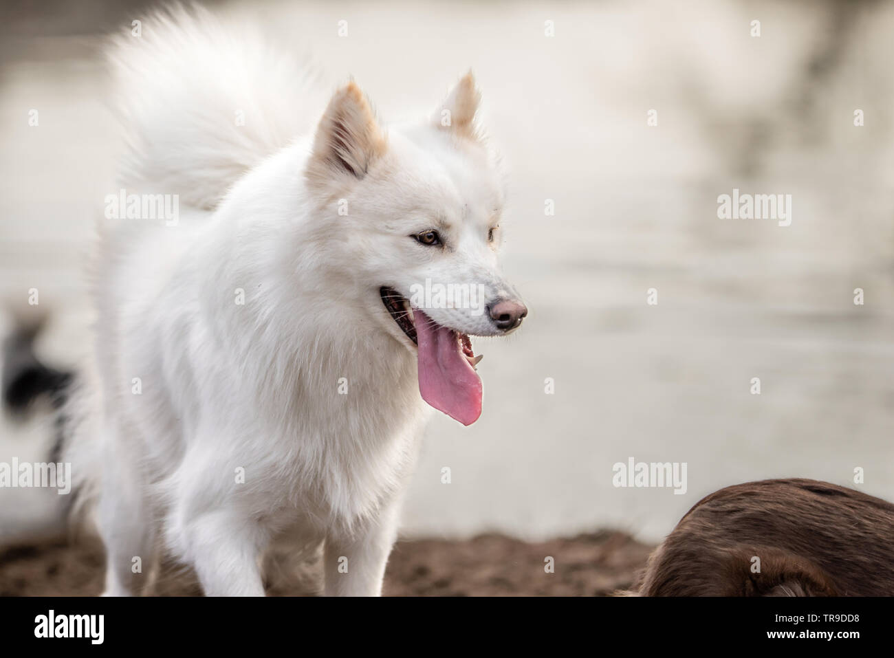 Cute Fluffy White Samoyed Dog Panting With A Smile At The Dog Park With Water In The Background Stock Photo Alamy