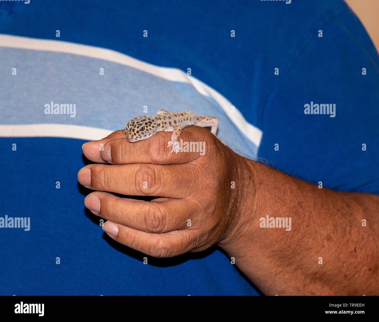 Leopard gecko named Leo, with his owner, Phil Garcia during 'Critter Show,' evening entertainment at White Stallion Ranch, a dude ranch outside Tucson - Stock Image