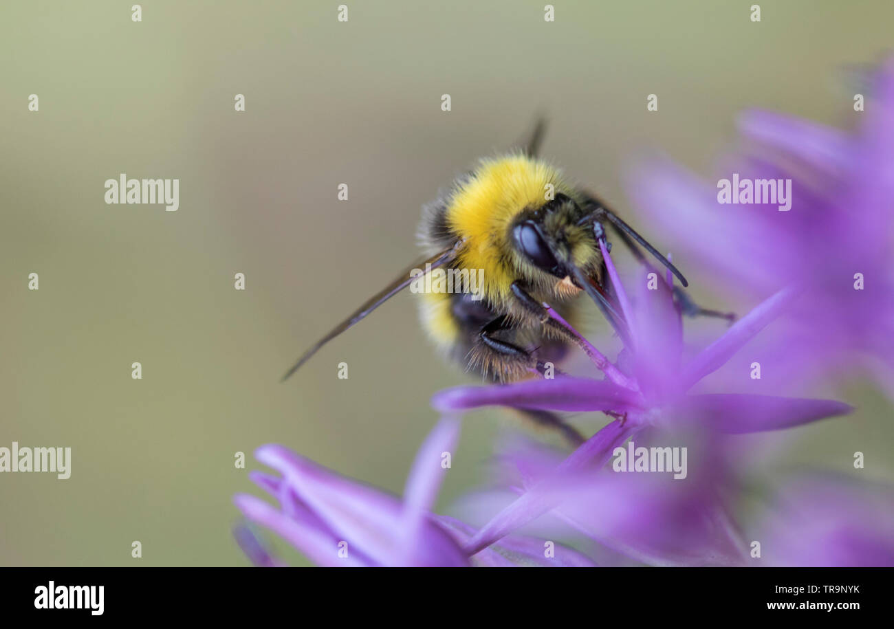 Bumble Bee on a Allium flower head, England, UK - Stock Image