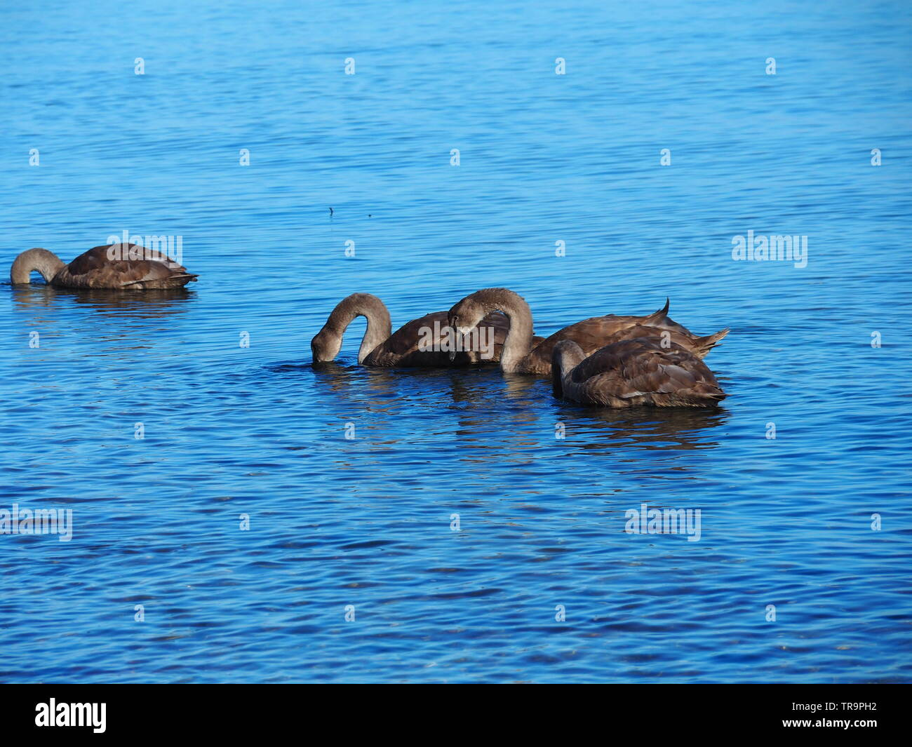 brown geese are swimming in the baltic sea - Stock Image