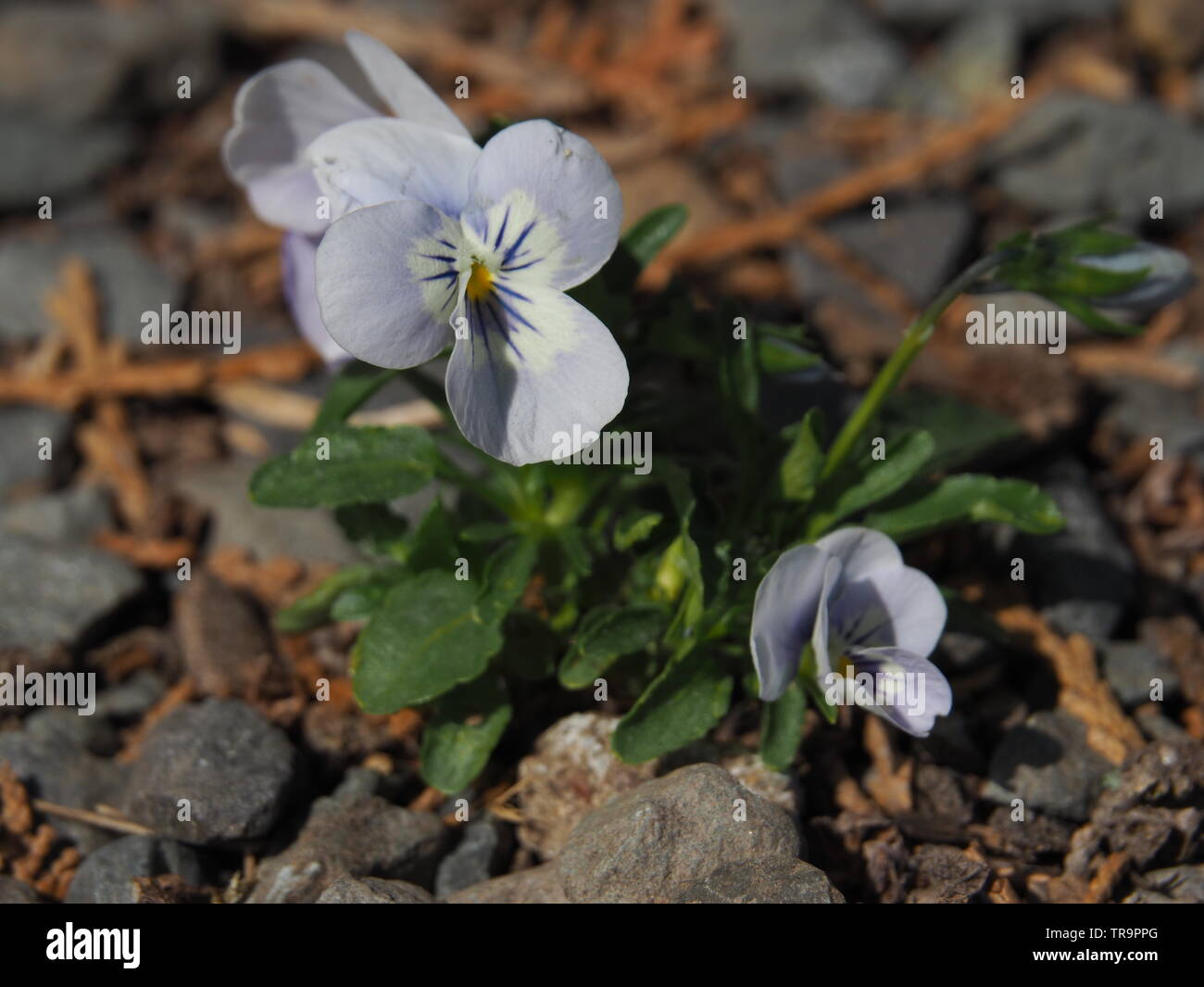 tiny horn violet in a gravel strip - Stock Image