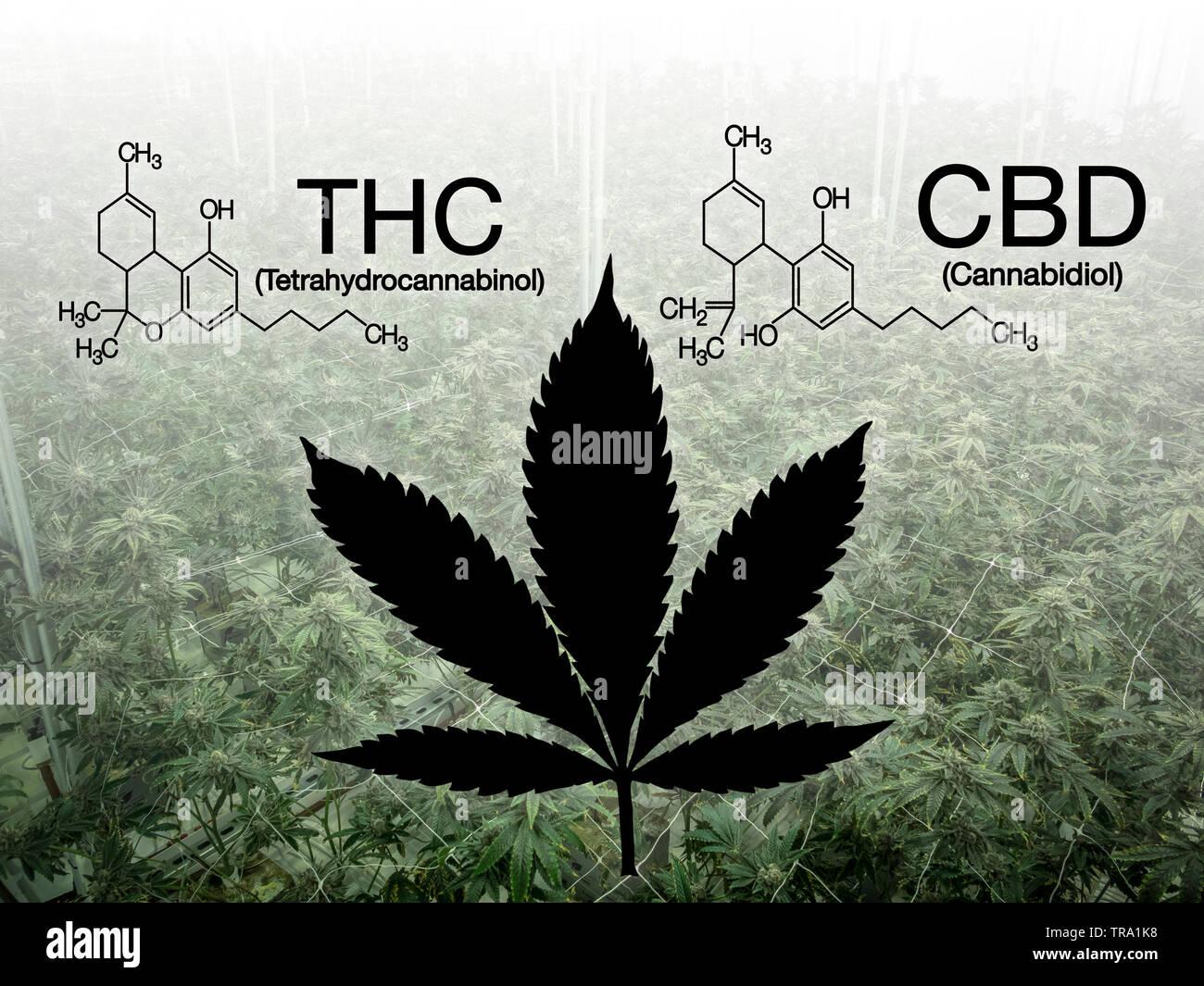 Info image of Cannabidiol versus Tetrahydrocannabinol cannabis Stock Photo