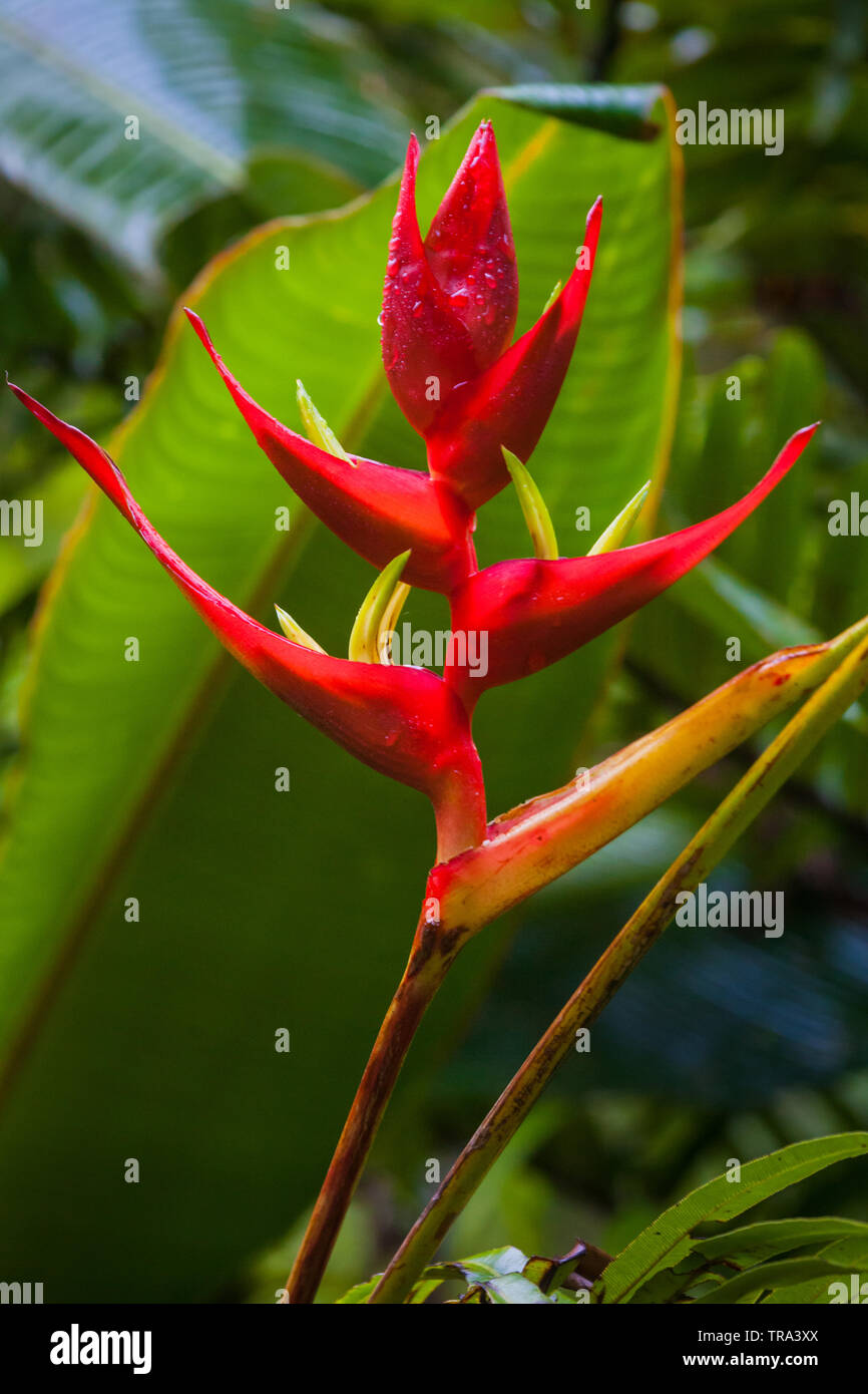 Beautiful heliconia flower in the cloudforest of La Amistad national park, Chiriqui province, Republic of Panama. Stock Photo