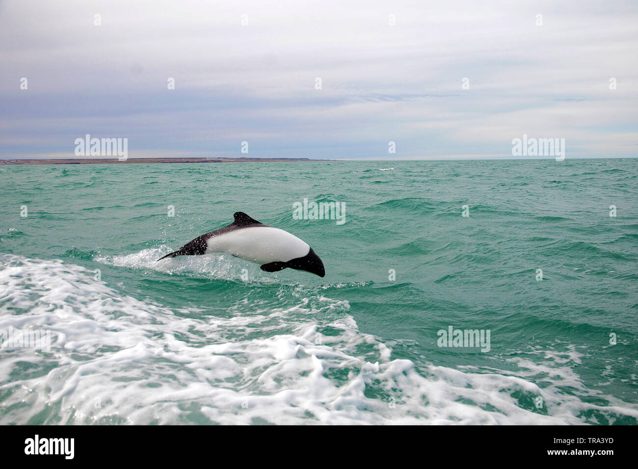 Commerson's Dolphins (Cephalorhynchus commersonii), breaching at surface,  peninsula Valdes, Argentina - Stock Image
