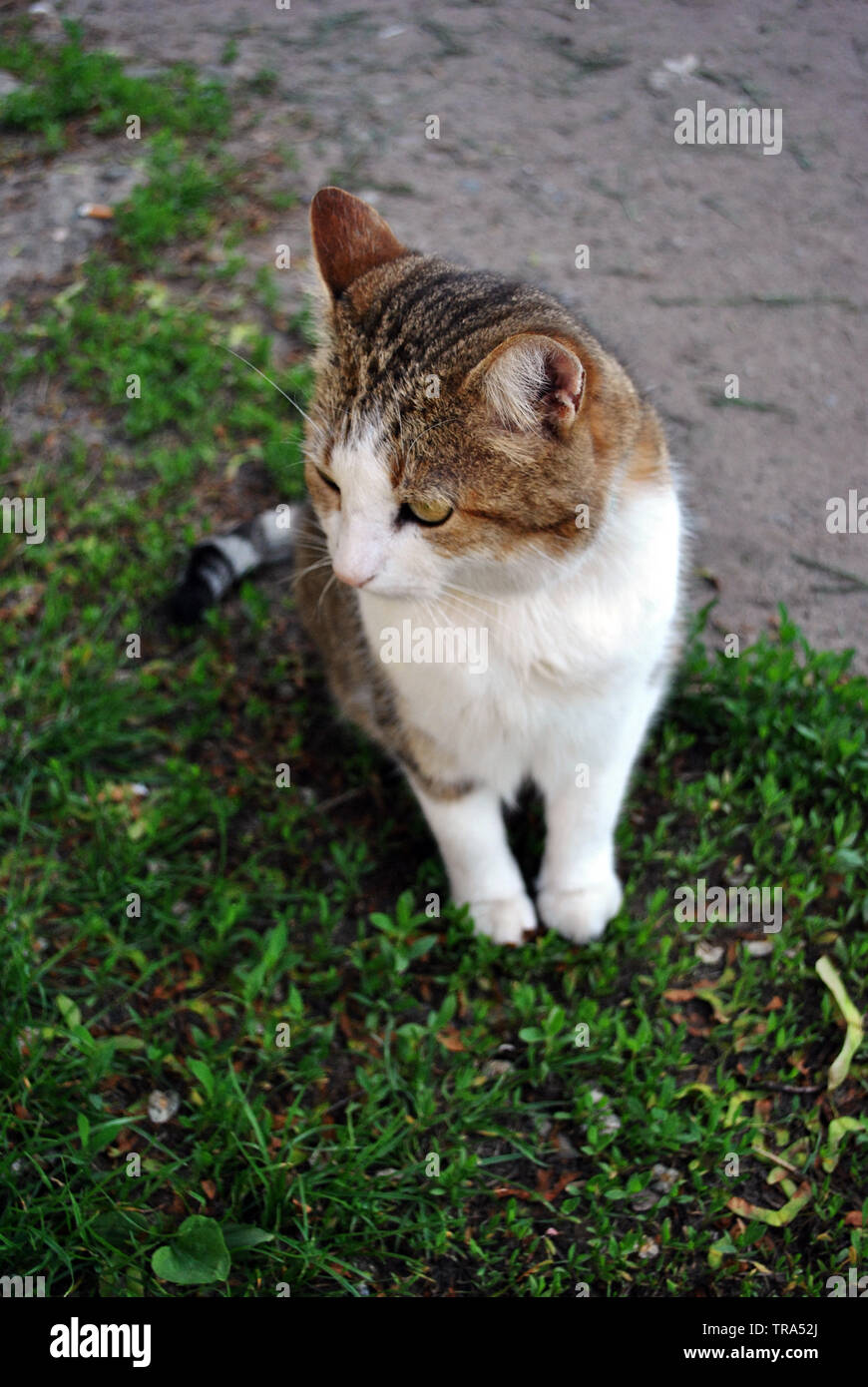 White And Brown Spotted Cyprus Cat Breed Sitting On Grass Top View Stock Photo Alamy